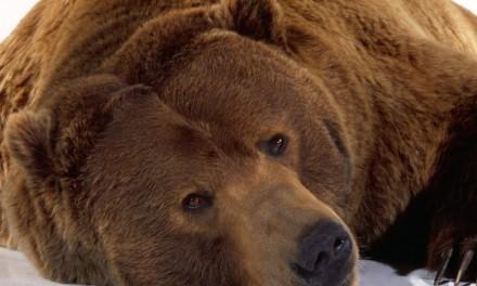 La obesidad de los osos no provoca diabetes
